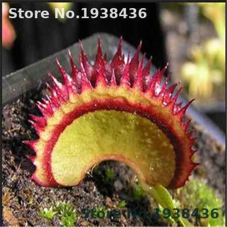 50 pz/pacco semi In Vaso Insettivori Semi di Dionaea Gigante Clip Acchiappamosche Pianta Carnivora Casa E Giardino Impianto Al Coperto