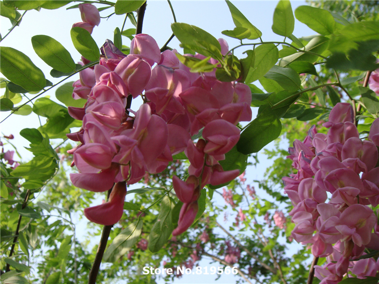 Real Chinese Pink White Robinia Pseudoacacia Tree Seeds Indoor