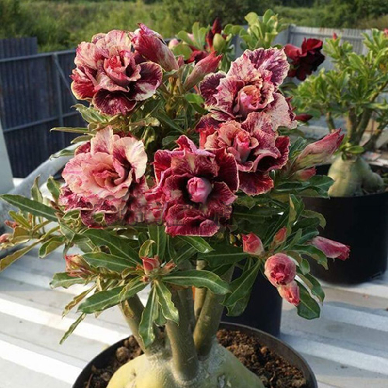 100-True-New-breed-Thailand-grafted-double-petal-desert-rose-Potted-Home-Garden-Flowers-Bonsai-Plants(1)