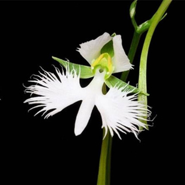 100 japanese radiata seeds white egret orchid seeds 100 natural world 39 s rare orchid species diy. Black Bedroom Furniture Sets. Home Design Ideas