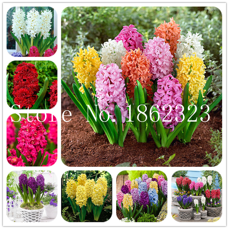 100 / stk Hyacinth Bonsai, flerårig Hyacinth Potted Flower, Indendørs Easy Pot Growing, Bonsai Flower Plant til Home Garden