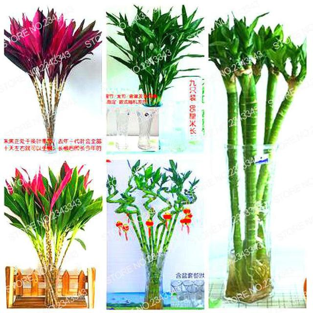 100% Genuine Rare 50pcs Lucky Bamboo Seeds Home Garden Decoration Perennial  Tree Indoor Plant Seeds