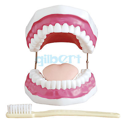 3 Times Magnification Dental Study Teach Clear Teeth Model Tooth Education 1 pcs dental standard teeth model teach study