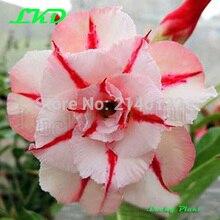 20 Fresh Adenium Obesum seeds Thailand Rare Real Desert Rose Seeds no332 Triple Dream clock