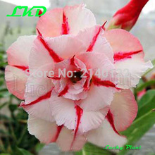 20 Fresh Adenium Obesum seeds Thailand Rare Real Desert Rose Seeds no332-Triple-Dream-clock
