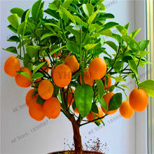 Loss Promotion!30pcs Edible Dwarf Orange Tree garden, Fruit Mandarin Bonsai Tree flores, Citrus plantas Bonsai Mandarin Orange p(China)