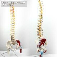 xương đầu, cơ Cột