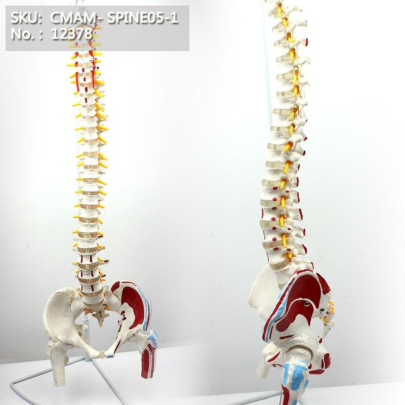 T CMAM / 12378 lülisamba, vaagna, lihaspunkt, reieluu pea, meditsiiniline spinnali kolonni anatoomiline inimese mudel