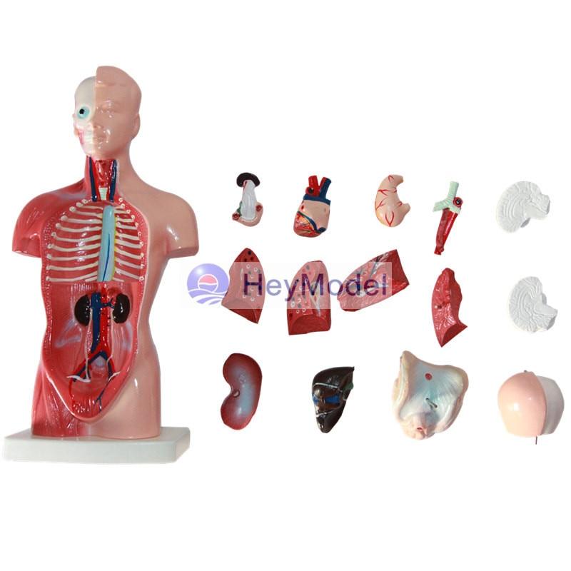 HeyModel Anatomical Torso Model of Internal Organs in 26CM human torso model famale male torso with internal organs anatomical model human anatomy medical model trunk model gasen rzjp023
