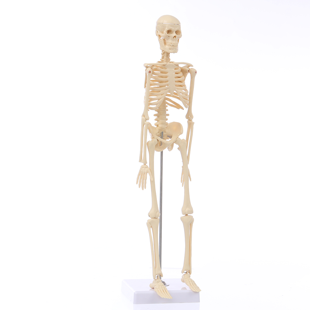 NEW Mini Detachable Human Skeleton Bone Model Removable Arms Legs W Metal Stand Anatomical Medical Model