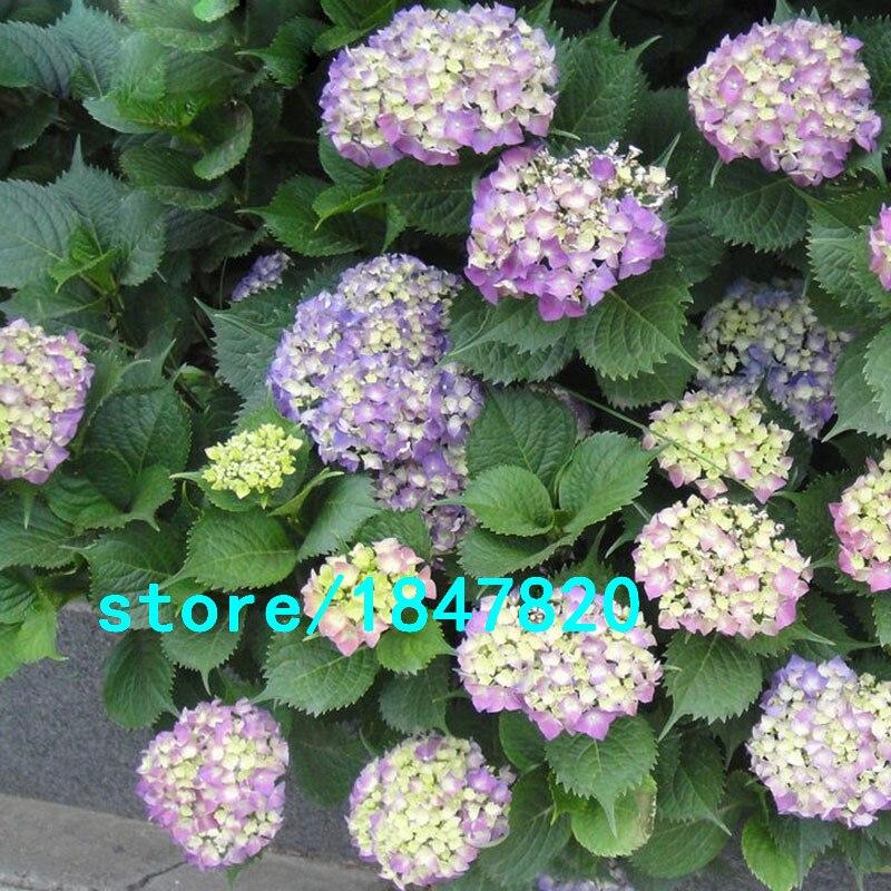 precio maceta hortensias