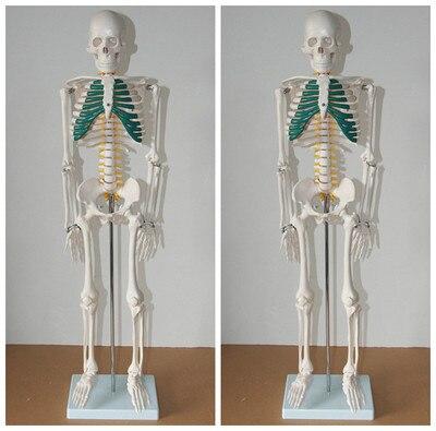 Menschliches Skelett Wirbel nerven modell 85 cm kostenloser versand ...