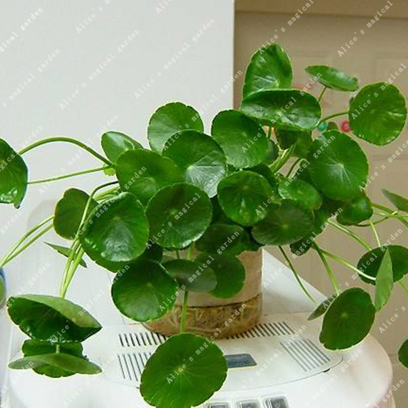 100 Money Grass Seeds Plants Loosestrife Bonsai For Garden Perennial Home