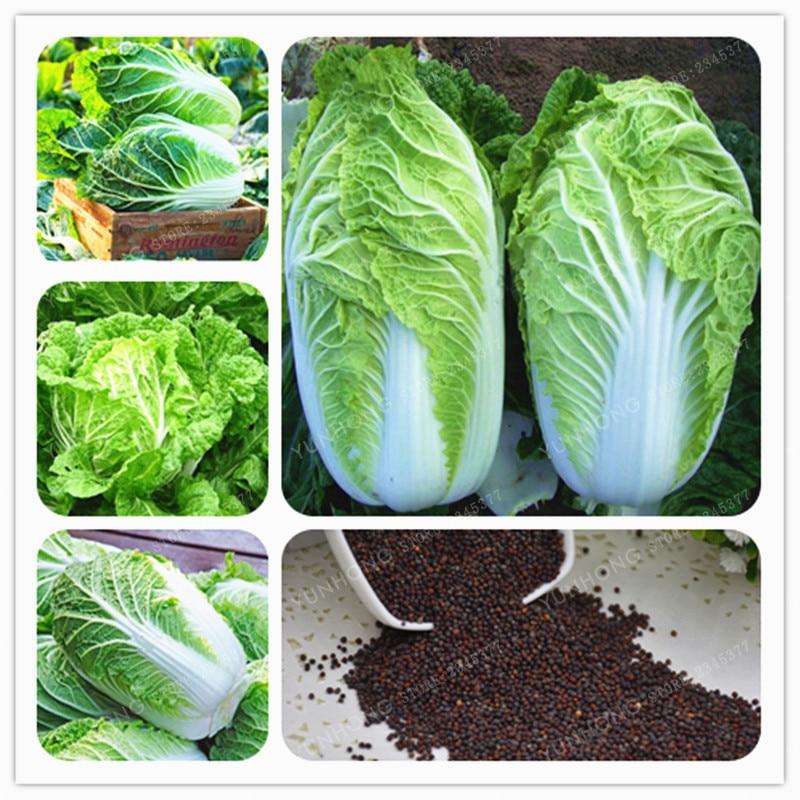 100 Chinese Cabbage Bonsai Green Vegetable Bonsai For Healthy Bok Choy Bonsai Nutritious Green Brassica Pekinensis Plants