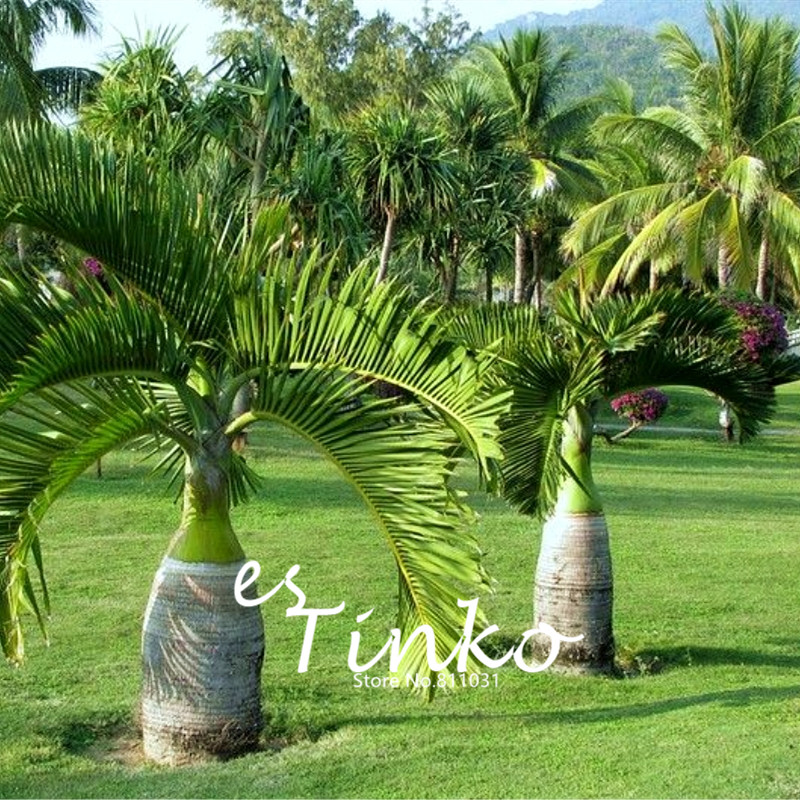 30pcs palm tree seeds garden ornament evergreen - Tipi di palme da giardino ...