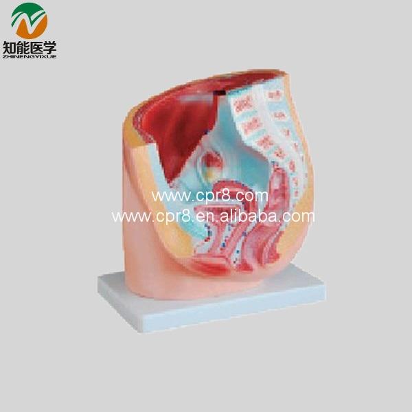 Women Sagittal Anatomy BIX-A1065 WBW262 gastric anatomy model chinon bix a1045 wbw266