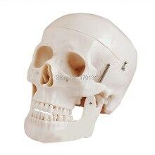 Нетоксичный ПВХ Взрослый череп Модель 1:1 три съемных зубов клиника моделирование черепа череп медицинский колледж декоративные фигурки