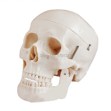 Non-toxic PVC Adult skull model 1:1 three removable tooth clinic simulation skulls cranium medical college decorative Figurines