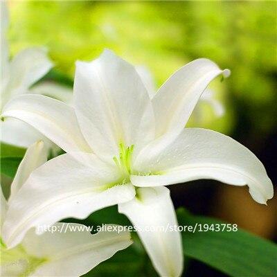 А Вышивка Крестом Пакет 100 штук гирлянды пламени Lilium Brownii цветок Семена балкон Карликовые деревья двор посадить цветы лилии