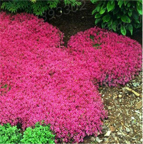 100 PCs torba pełzanie tymianek bonsai rzadki kolor skała CRESS roślina wieloletnia Ziemia okładka kwiat naturalny wzrost dla dom ogród tanie i dobre opinie Bardzo proste Wykluczone Roślina podwórku Upiększających Mini średni duży mały Jesień Konserwy roślin Wieloletnich