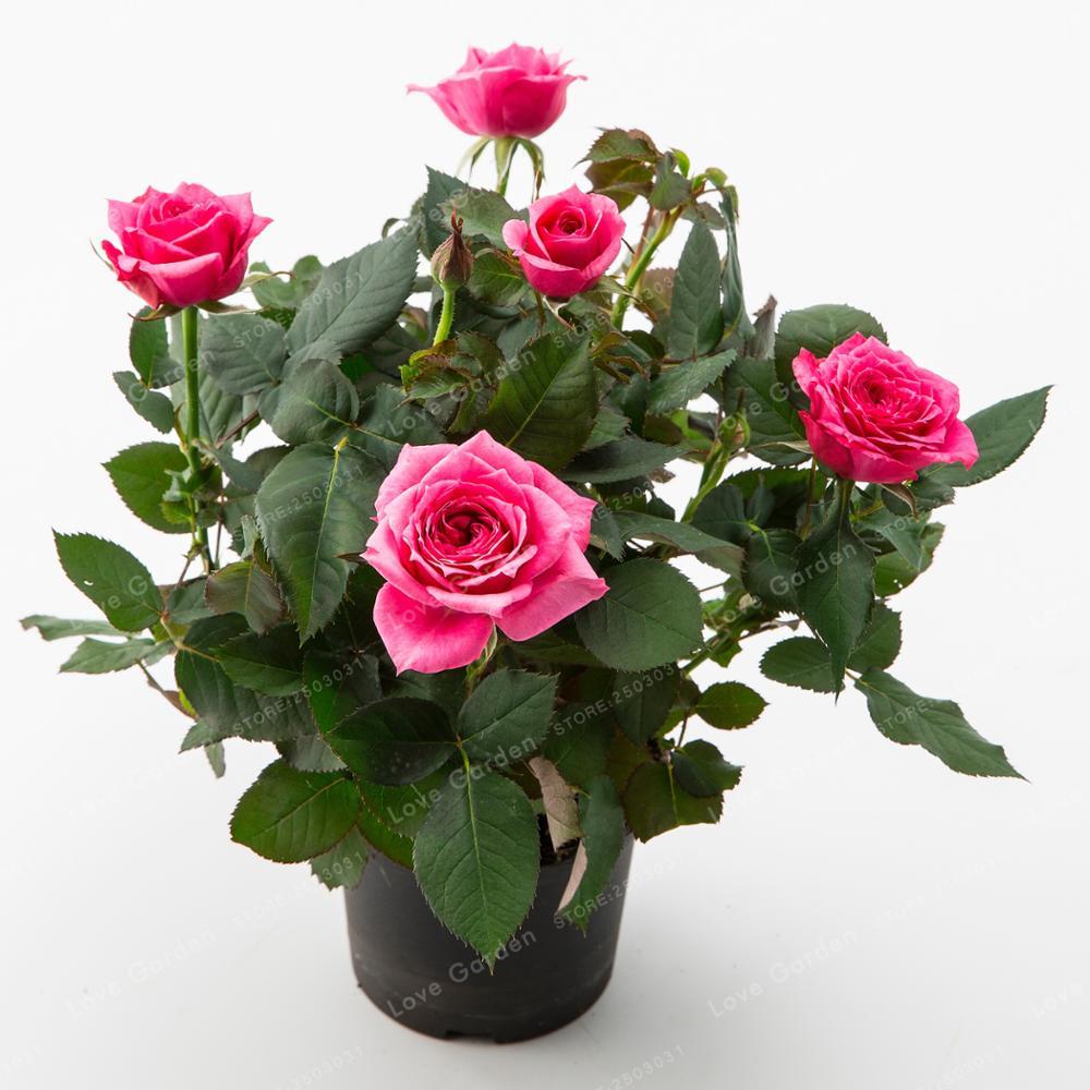 100 Pcsbag Mini Rose Bonsai Miniature Rose Plant Diy Home Garden