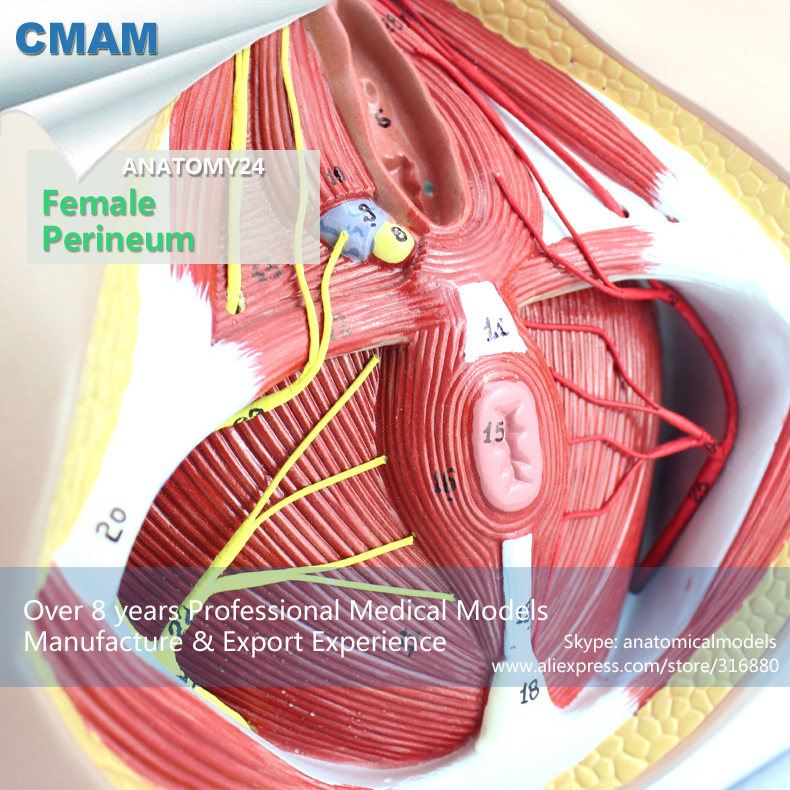 все цены на CMAM-ANATOMY24 Life Size Anatomy Model Female Perineum on Board , Medical Science Educational Teaching Anatomical Models