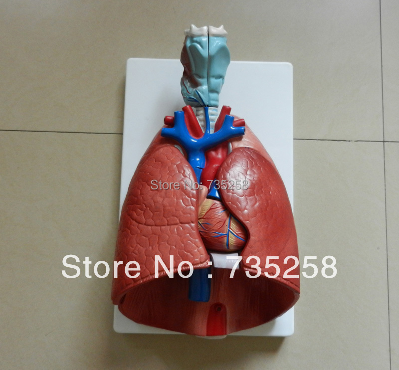 Larynx, Heart and Lung Model,Respiratory System Anatomical Model human larynx model advanced anatomical larynx model