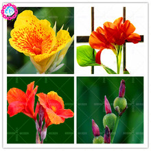 New arrived!10 pcs/bag Canna seeds Perennial herb decoration potted home&garden 95% germination rate bonsai flower plant