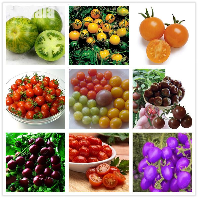 suculenta colorido semillas de tomates cherry semillas de frutas balcn verduras en maceta bonsai planta en