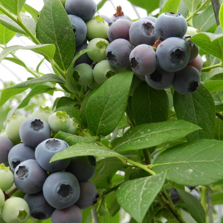 Aliexpress com   Buy 30pcs Dwarf Highbush Blueberry Evergreen Vaccinium  corymbosum Seeds Fruit Plant Vegetables For Home from Reliable vegetable  glycerin. Aliexpress com   Buy 30pcs Dwarf Highbush Blueberry Evergreen