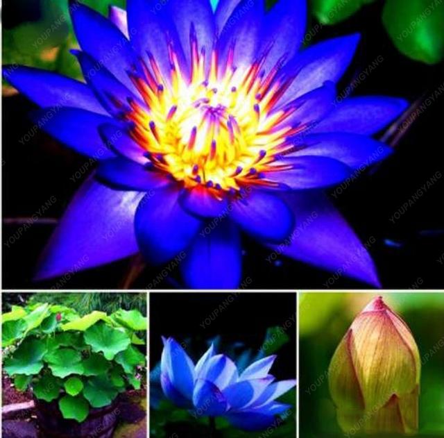 10pcs/bag  Lotus bonsai Lotus Aquatic Bonsais Bowl Lotus Water Lily Flower bonsai Perennial Plant Free Shipping