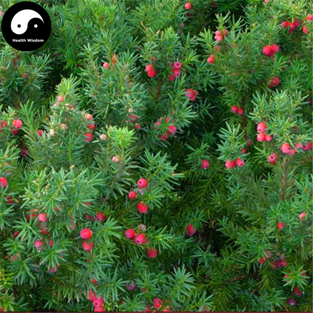 Buy Taxus Chinensis Tree Semente 30pcs Plant Chinese Yew Tree Hong