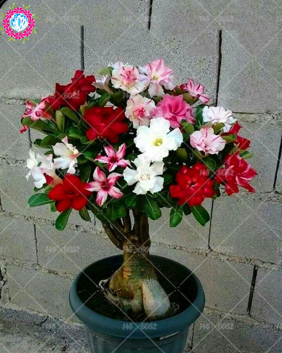 Mixed color Desert Rose seeds 100%true seeds Perennial indoor flowers plants bonsai tree seed Adenium Obesum seeds for garden ...