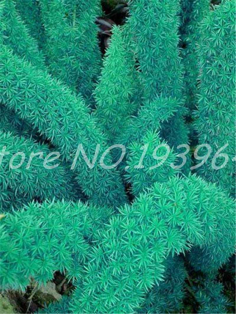 100 Pcs ผสม Foxtail Fern Bonsai, ที่หายากแปลกใหม่ Creeper Vines หญ้าประดับใบไม้พืชกระถางดอกไม้ Planters Purify Air