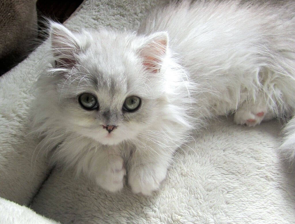 迷路猫字母圈的猫之金吉拉猫与伯曼猫的SaMa情结