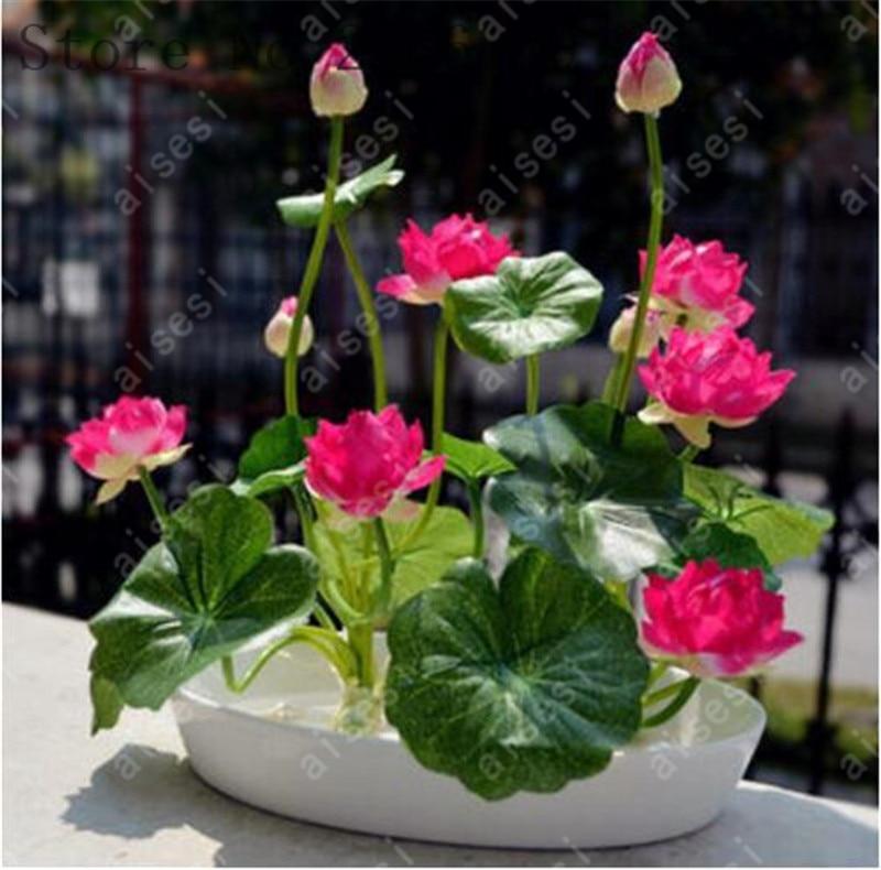 Xpressdecor Bonsai Bowl Lotus Flower For Summer 100 Real 5bag