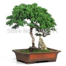 Juniper Tree Flower Seeds 10pcs