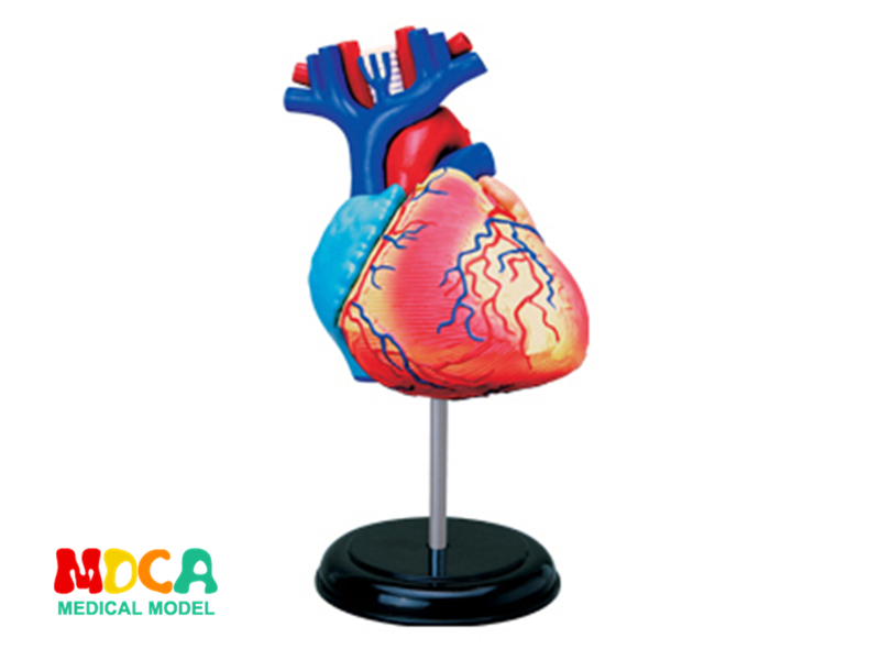 Heart 4d master puzzle Assembling toy human body organ anatomical model medical teaching model organ anatomical model teaching medical human body specimen model human lung anatomical model 4 parts gasencx 0055