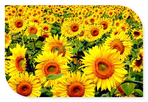 huile de tournesol graines 15 pcs sac helianthus annuus. Black Bedroom Furniture Sets. Home Design Ideas