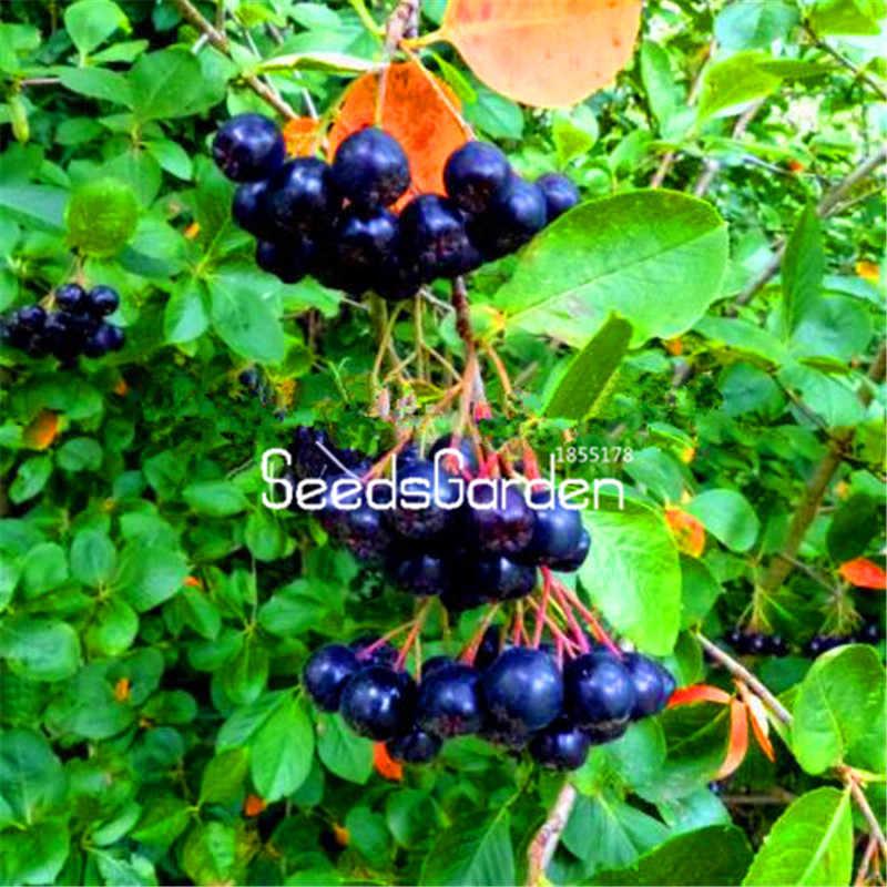 Venda! 100 pcs UM Saco Anual de Frutas e Vegetais Plantas Aronia Viking. DIY Home & Garden Bonsai Plantas.
