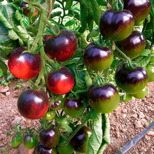 200 pcs/bag tomato seeds, red black cherry tomato seeds, organic fruit vegetable seeds,bonsai potted plant for home garden 200 tomato seeds rare mini climbing tomato seeds cherry tomatoes sweet 200 mini tomato bonsai plant seeds organic food