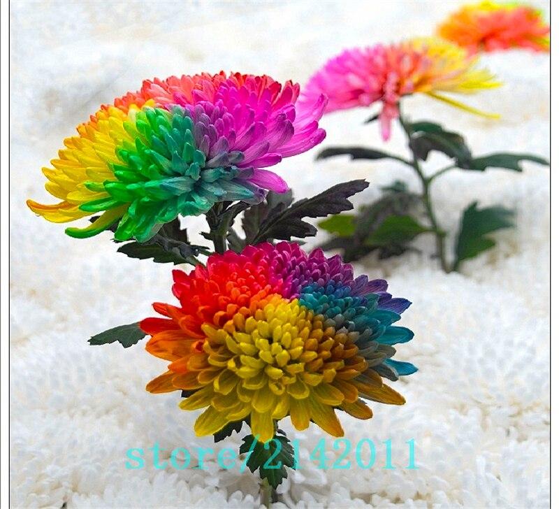 200pcs bag rainbow daisy seeds rainbow chrysanthemum daisy for Rainbow flower seeds
