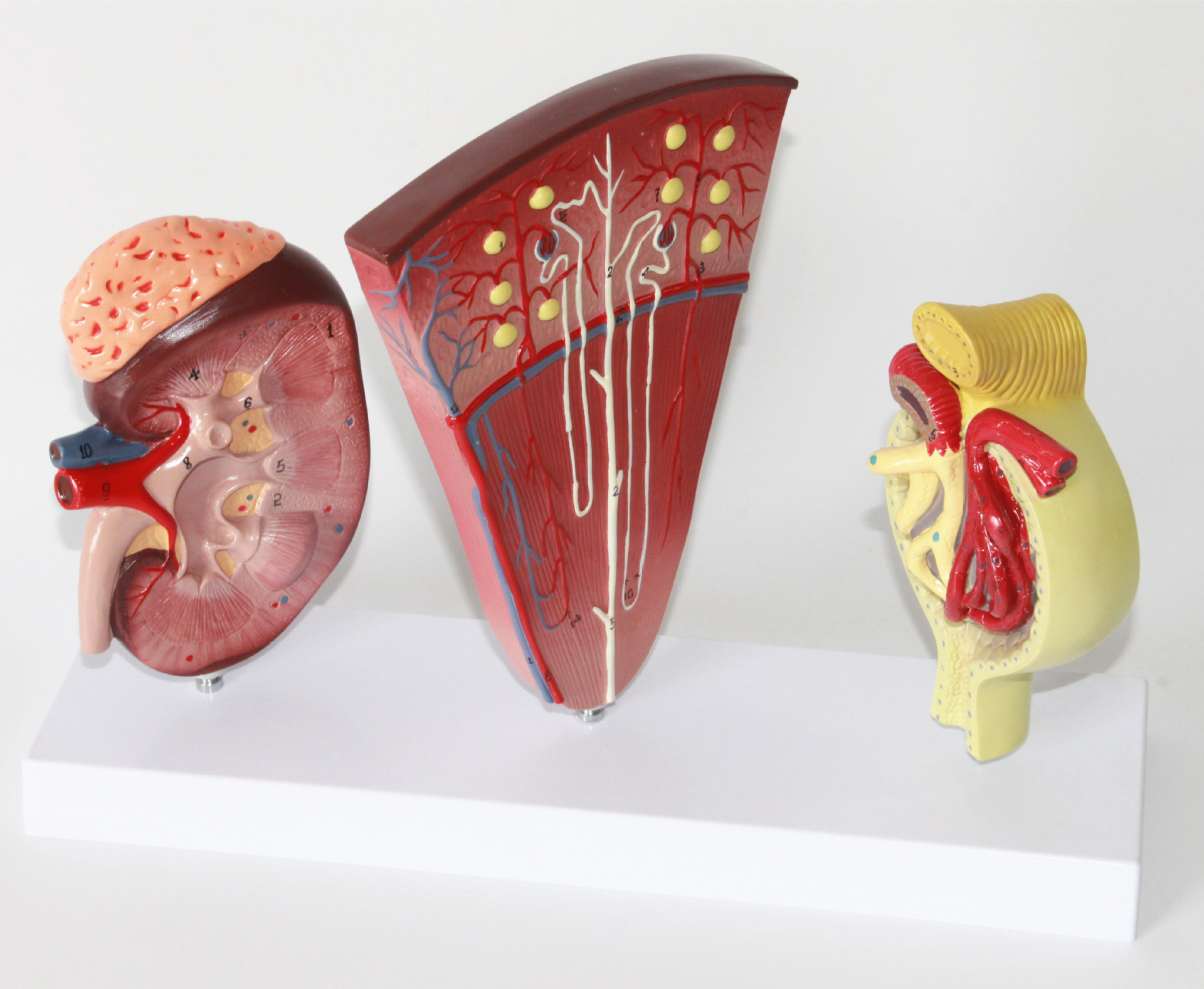 1:1 Life Size Kidney and Urinary System Model Adrenal Gland Nephron ...