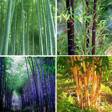 9 Kind of Really Bamboo Choose Green Purple Black Gaint Tree Outdoor Home Garden Decoration Potted Plant bonsai 60PCS