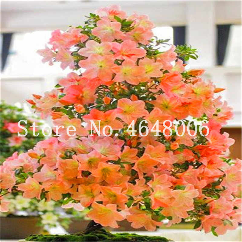 Hot! Bonsai 20 Pcs Rare Potted Mixed Color Azalea Diy Home & Garden Plants Looks Like Sakura Japanese Cherry Blooms Flower