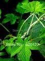 100 семена Gynostemma pentaphyllum jiaogulan из великая китайская яо горный