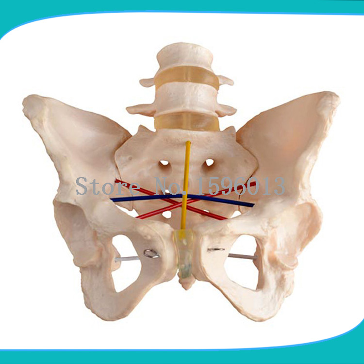 Pelvimetry Demonstration Model,Pelvis/Pelvic measurement model,Pelvis /Pelvic Model female pelvic fetal model nine months of pregnancy fetus uterine embryo development model fetal development model gasen sz017