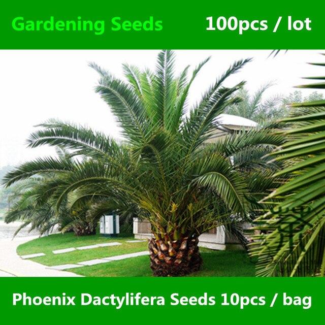 Very Popular Phoenix Dactylifera Seeds 100pcs, Date Palm Green Gardening  Seeds, Family Arecaceae Ornamental