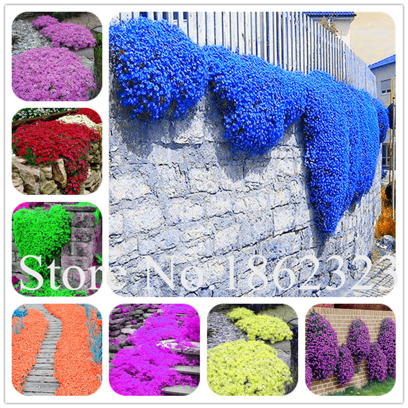 200Pcs/Bag Creeping Thyme bonsai, Rare Color ROCK CRESS plants - Perennial Ground Cover Flower Natural Growth For Home Garden