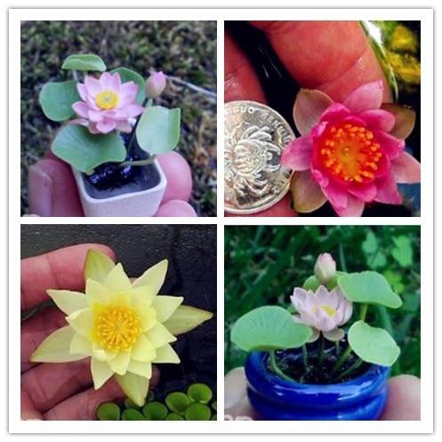 5 Pcs Japan Bowl Lotus Flower Exotic Water Lily Aquatic Hydroponic